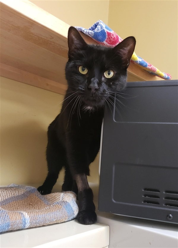 Big Boy, an adoptable Domestic Short Hair Mix in Oakland, NJ
