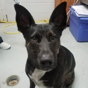 Hi my name is Sadie I am a German Shepherd mix my previous family did not have enough time for