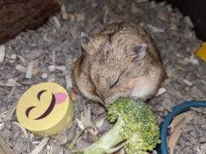 Mama Wasabi is a young female Russian dwarf hamster who needs a special owner that can handle her W