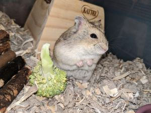 Mustard is a young female Russian dwarf hamster who needs a special owner that can handle her We do