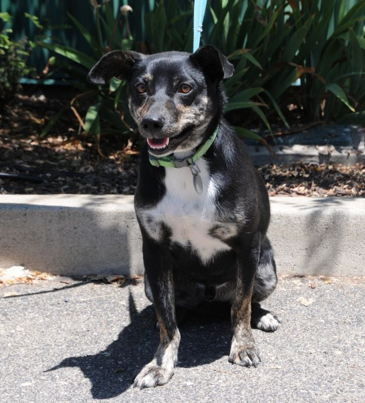 Pepper, an adoptable Terrier Mix in Jamestown, CA