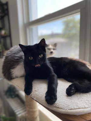 Spike American Shorthair Cat