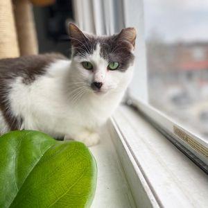 Elle American Shorthair Cat