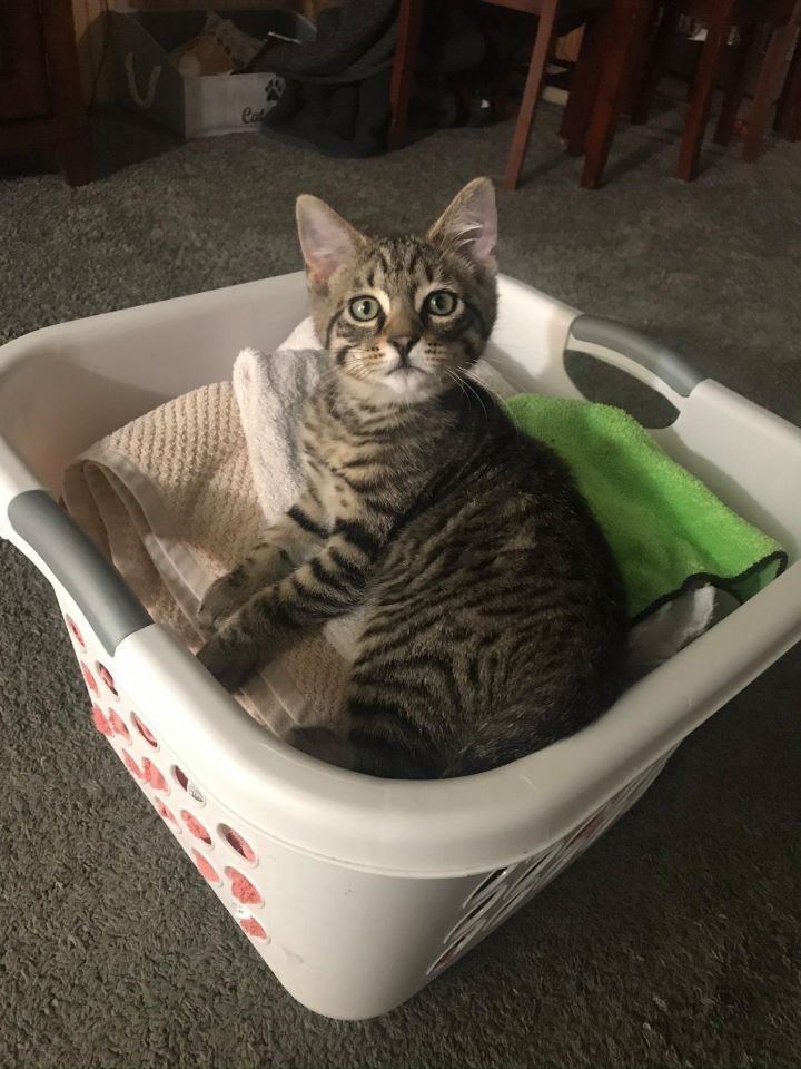 Atlas, an adopted Domestic Short Hair & Tabby Mix in Manhattan, KS