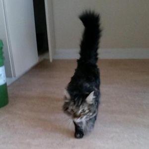 Troy Domestic Medium Hair Cat