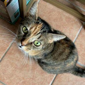 P Domestic Short Hair Cat