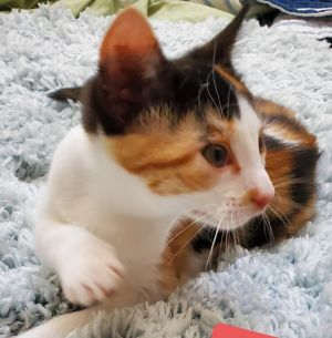 Saffron is an adorable 16-week-old female kitten looking for a loving home She is playful sweet an