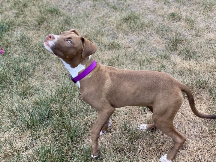Sundae, an adoptable Pit Bull Terrier Mix in Springfield, MO