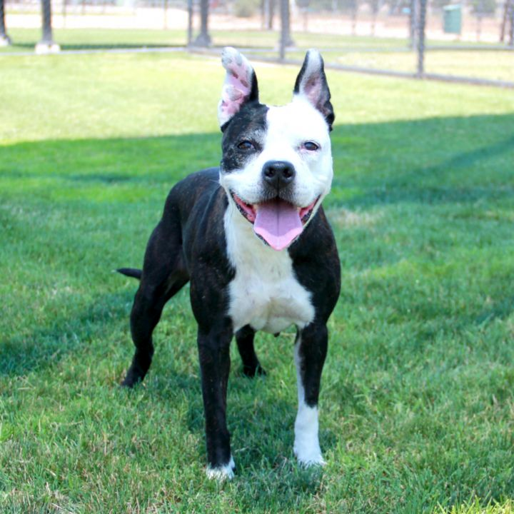 Molly, an adopted Pit Bull Terrier Mix in Clovis, CA