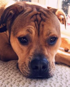 Meet Cooper He is 4 12 years old and is a BoxerAmerican Bulldog mix He is neutered vaccinated a