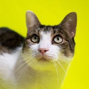 Marie American Shorthair Cat