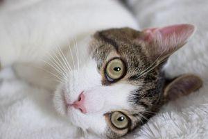 Marie American Shorthair Cat