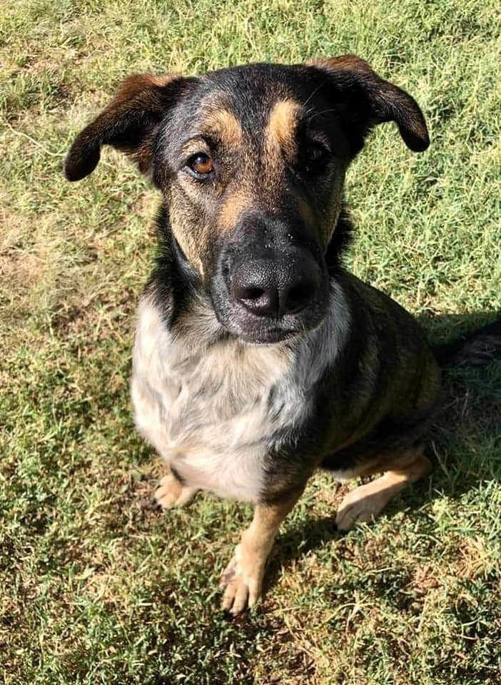 Olive, an adoptable German Shepherd Dog Mix in Manhattan, KS