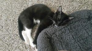 Figaro Domestic Short Hair Cat