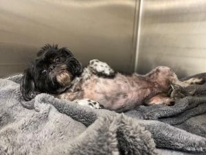 Breed Shih Tzu Age 9 yrs Weight 15 lbs Good with dogs yes Good with cats unsure Good with kid