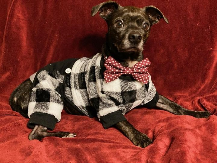 Boomer, an adopted Dachshund & Boston Terrier Mix in Warner Robins, GA