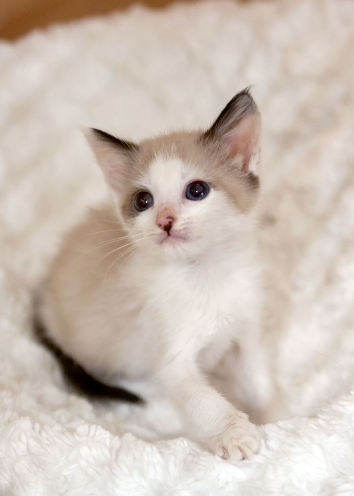 Piper, an adopted Siamese Mix in Waxhaw, NC