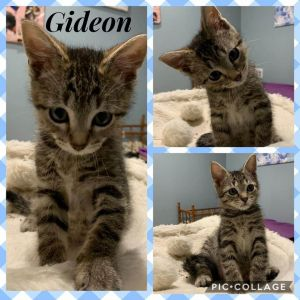 Gideon really needs a friend Life isnt fun for a 12 week old kitten that doesnt have a buddy to