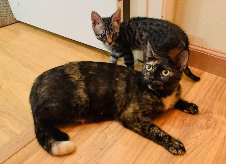 Missy, an adoptable Tortoiseshell Mix in Mission Viejo, CA