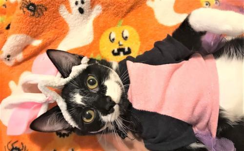 Ella Ward, an adoptable Domestic Short Hair in Trenton, NJ