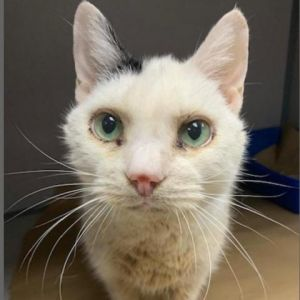 Looking for a cuddly cat Meet Sky Shes 8-years-old and looking for a loving h