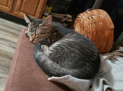 Niles, an adopted Domestic Short Hair & Tabby Mix in Kentwood, MI