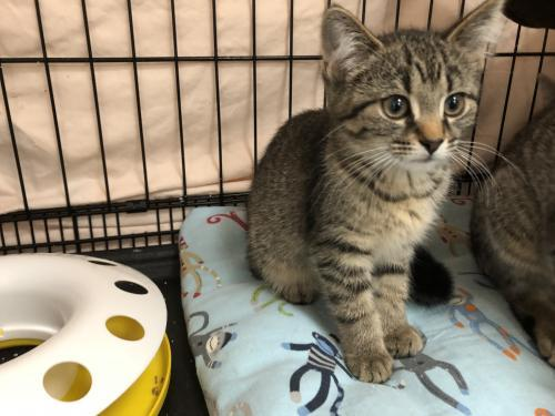 Roxie, an adoptable Tabby & Domestic Short Hair Mix in Monroe, MI