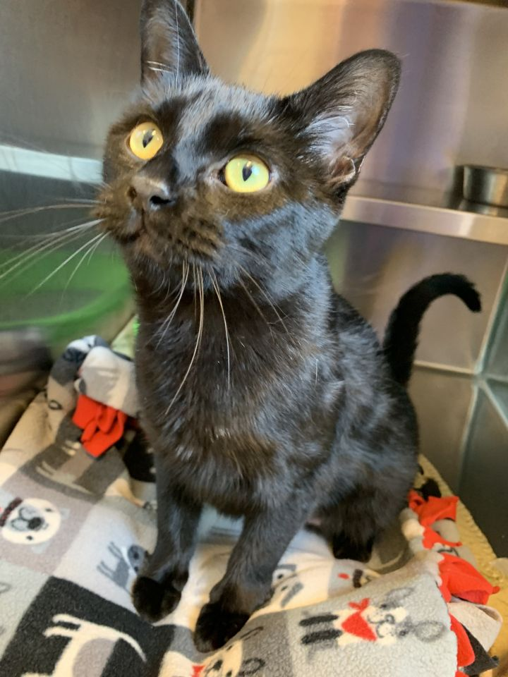 Annabel, an adoptable Domestic Short Hair Mix in Appleton, WI