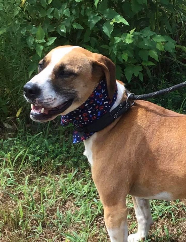 """Lobo"" 7213, an adopted Boxer & Hound Mix in Maidens, VA"