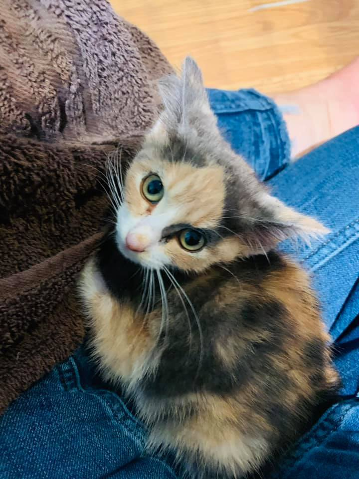 Elinor, an adoptable Domestic Short Hair Mix in Springfield, MO