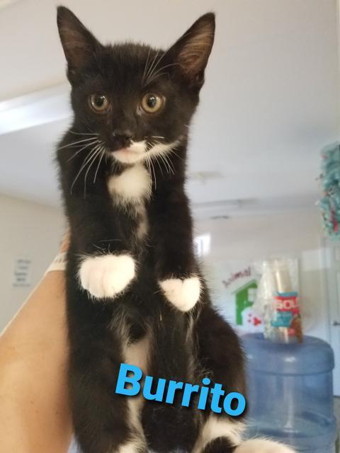 Burrito, an adoptable Domestic Short Hair in Blountville, TN