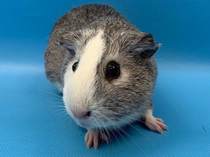 Guinea Pig For Adoption Harley Quinn A Guinea Pig In Woodbury Mn Petfinder