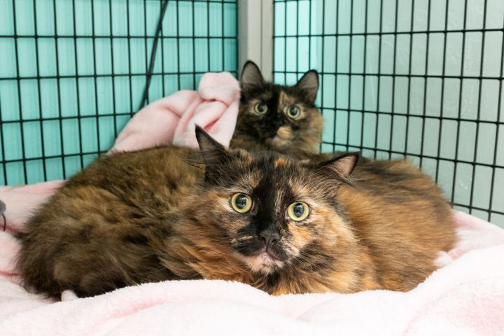 Dulce & Coco, an adopted Domestic Long Hair & Tortoiseshell Mix in Shoreline, WA