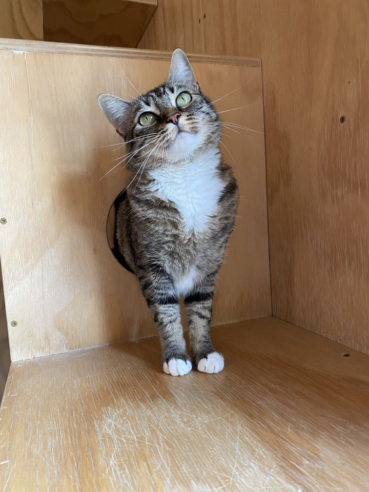 Sweet Tarts, an adoptable Domestic Short Hair Mix in Jackson, WY
