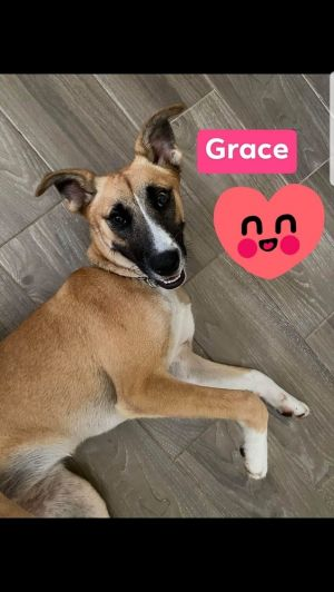 Sweet Grace is one of the most adorable young dogs we have She is playful and kind She LOVES kids