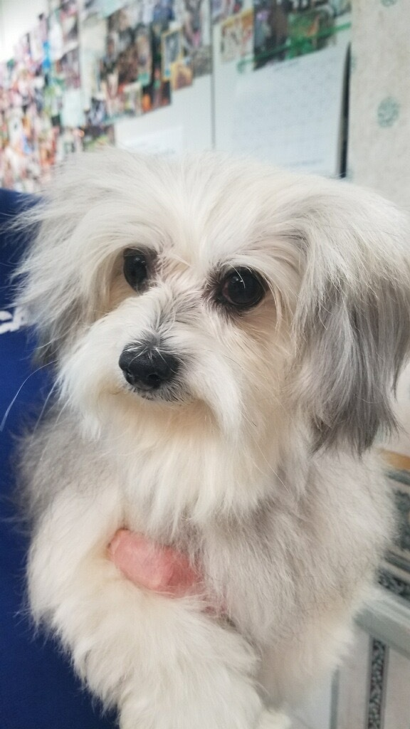 Dog For Adoption Ren A Yorkshire Terrier Maltese Mix In Gardena Ca Petfinder