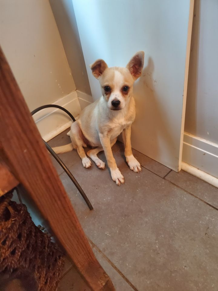 Daytona, an adopted Chihuahua Mix in Hainesville, IL