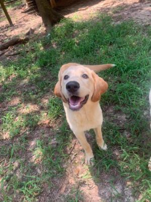 You can fill out an adoption application online on our official websiteBart is a male Labrador Retr
