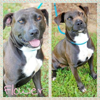Flower, an adopted Labrador Retriever & Terrier Mix in Sautee Nacoochee, GA
