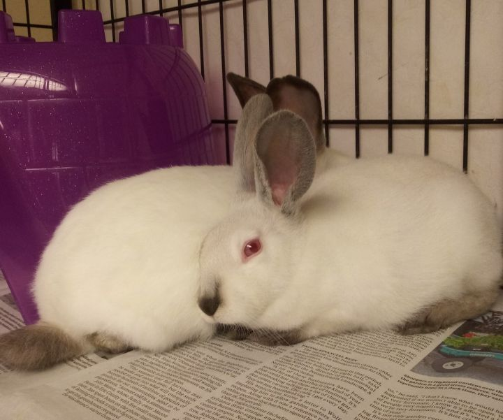 Basil and Cilantro, an adoptable Californian & American Mix in Harrisburg, PA