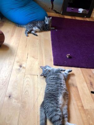 Max N Jasper LARGE SWEETHEARTS Tabby Cat