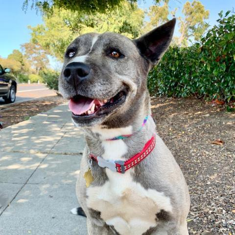VALERIE, an adoptable Husky & American Staffordshire Terrier Mix in Point Richmond, CA