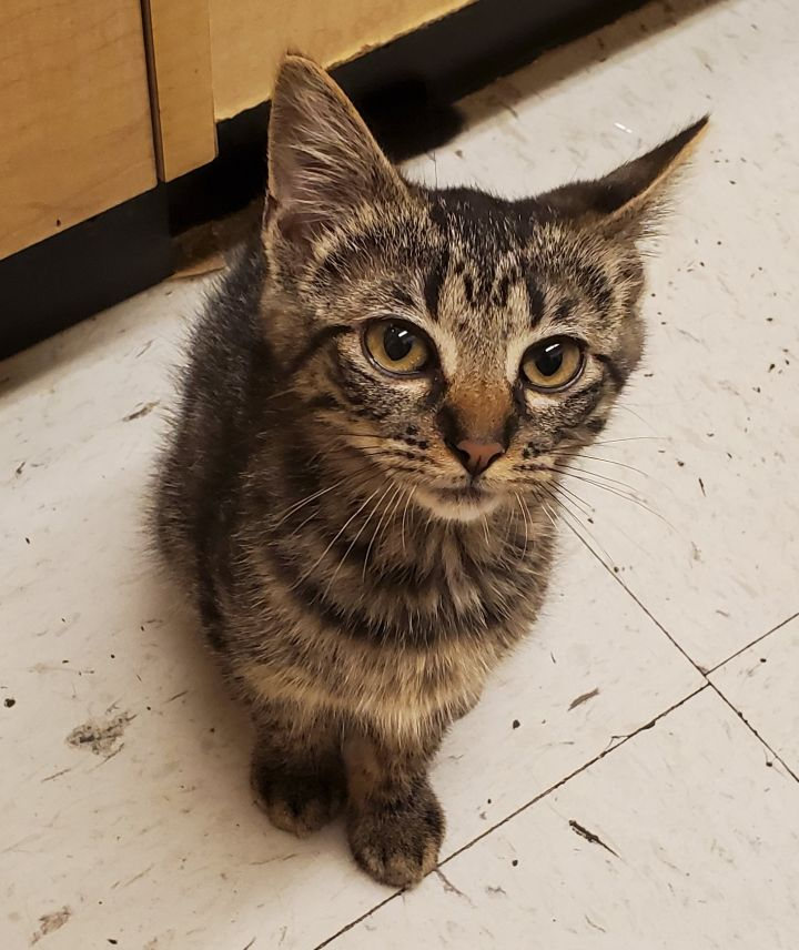 Donald, an adopted Domestic Short Hair in Liverpool, NY