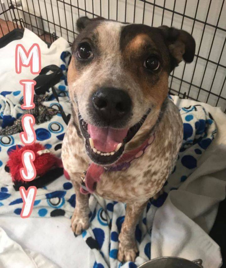 SADIE, an adoptable Australian Cattle Dog / Blue Heeler Mix in Dallas, PA