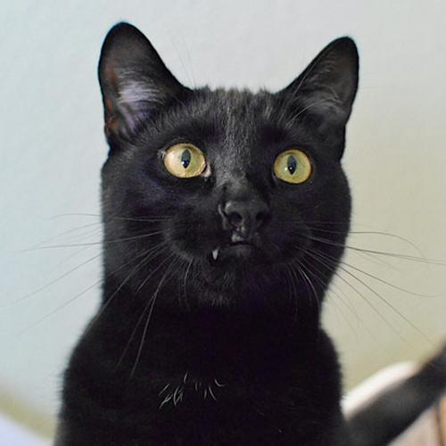 Cliff, an adoptable Domestic Short Hair Mix in Springfield, OR