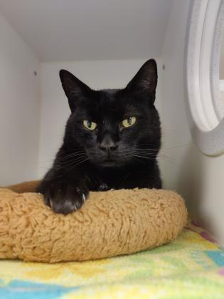 Jack, an adopted Domestic Short Hair in Bellingham, WA