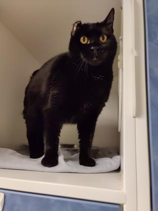 Cleopatra, an adopted Domestic Short Hair in Bellingham, WA