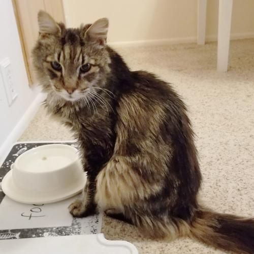 Dane, an adoptable Tabby & Domestic Medium Hair Mix in Springfield, OR