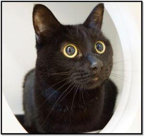 Mildred Domestic Short Hair Cat