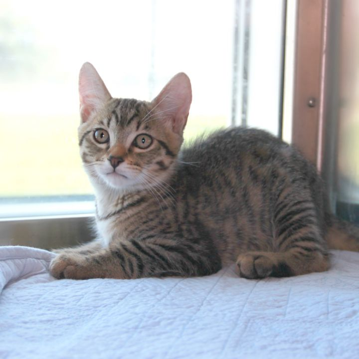 Rocky Road, an adoptable Domestic Short Hair Mix in Clovis, CA